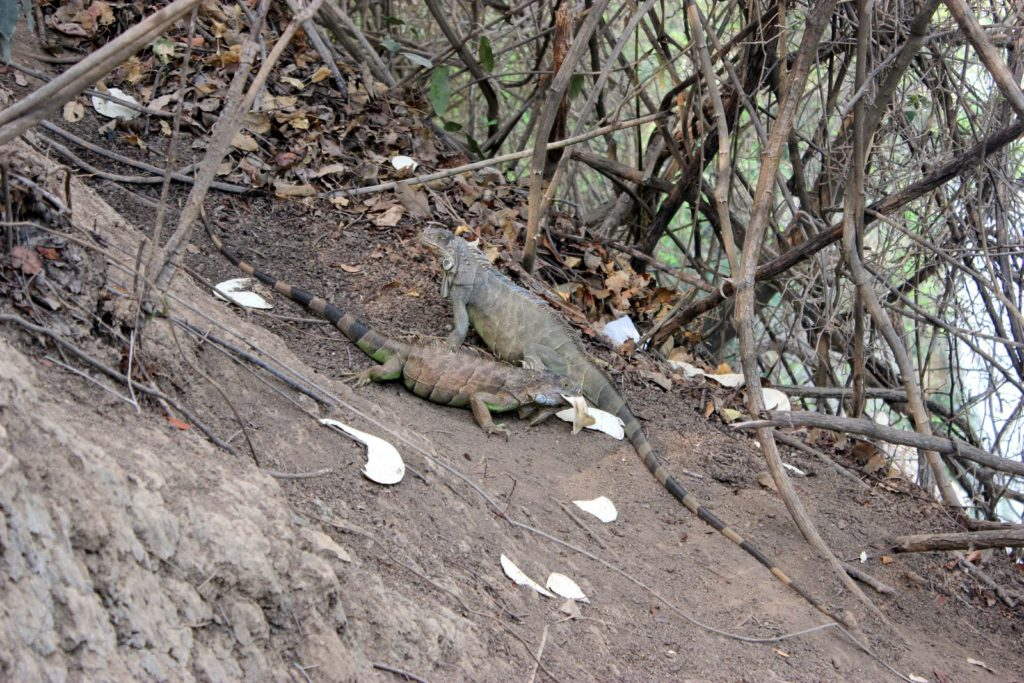 Игуаны лопают блины