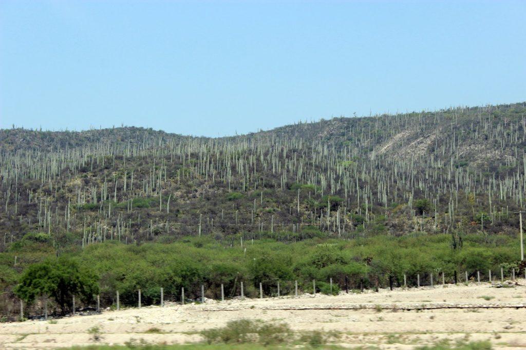 Кактусовые дикие плантации