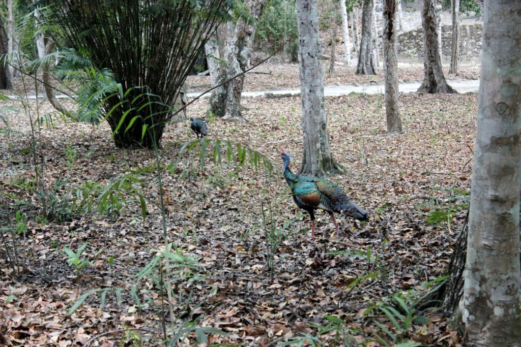 Калакмуль в джунглях Мексики