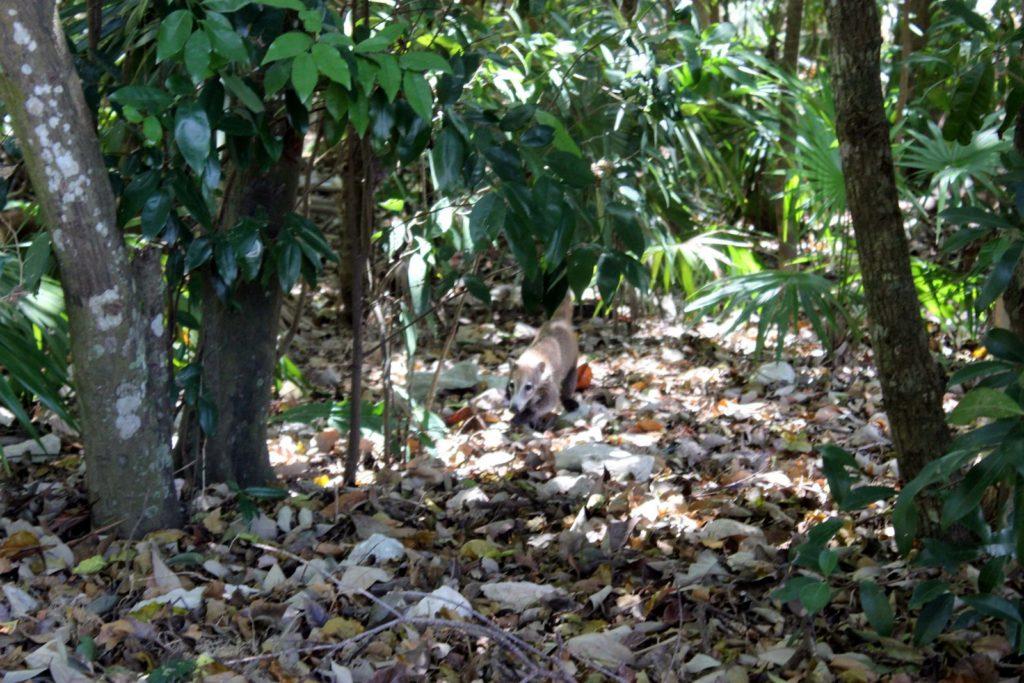Коати в лесах Кариб