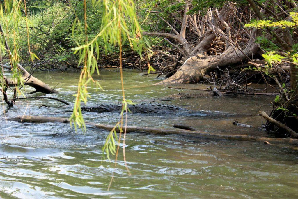 Крокодил в каньоне Эль-Сумидеро
