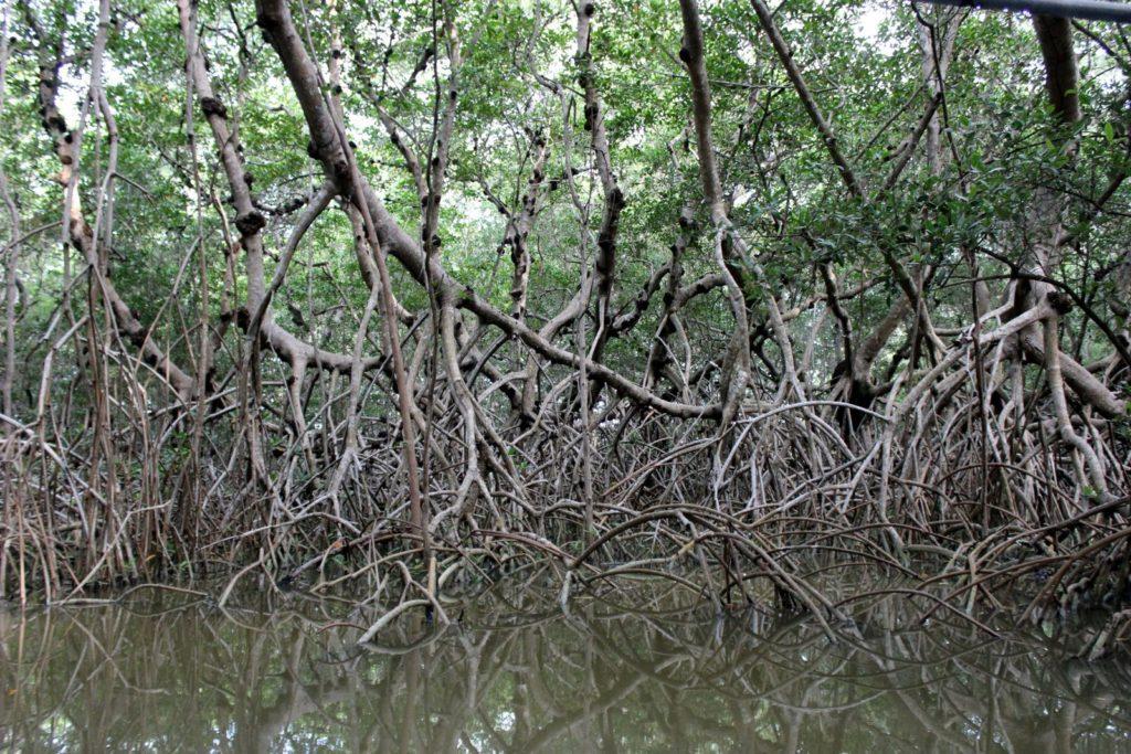 Мангровые леса Мексики, Селестун