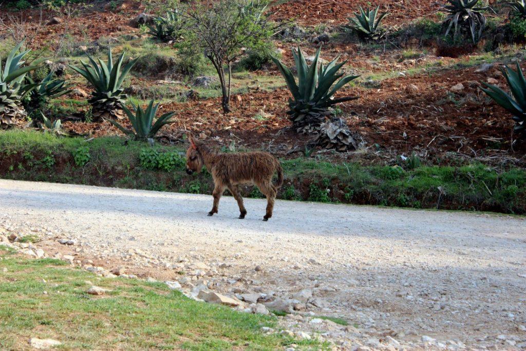 Мохнатый ослик