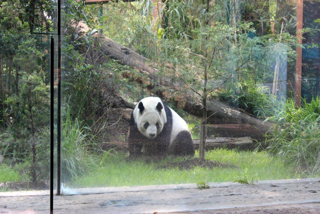 Панда в Мехико в зоопарке