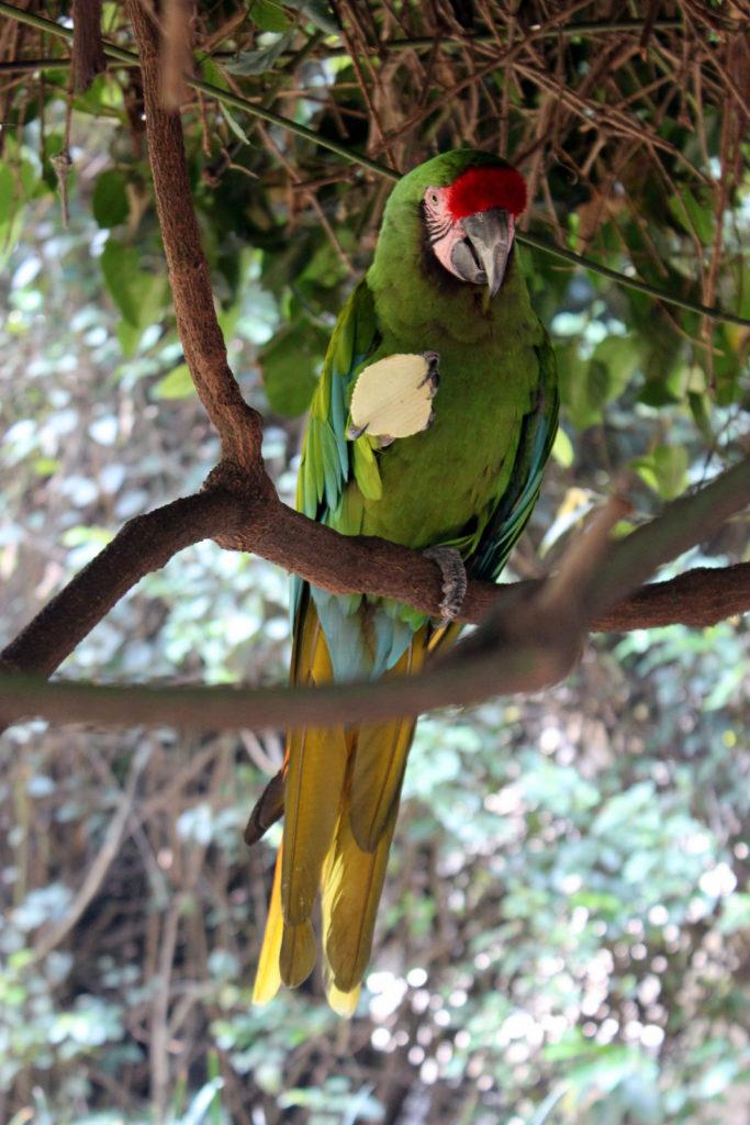 Парк в Мехико. Попугай отжал чипсинку )