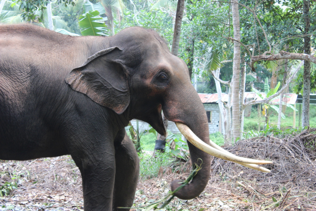 Редкий для Шри-Ланки слон с бивнями