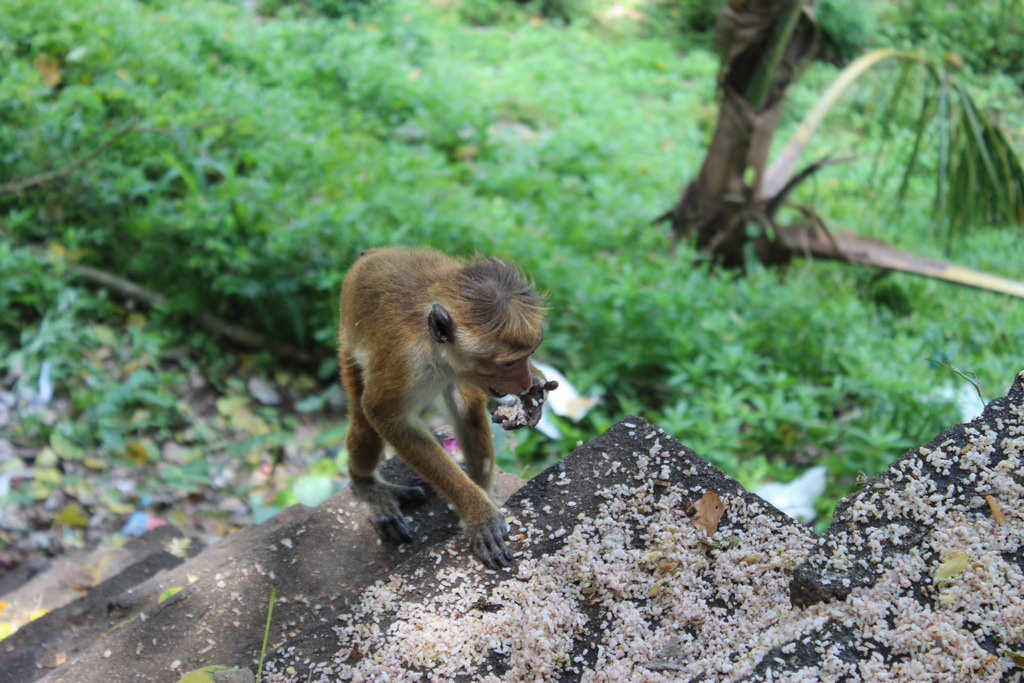 Буддийский обезьян